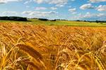 GMO Wheat May Turn Off Human Genes
